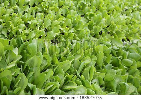 Background Of Leaves Of Tender Fresh Lettuce On Sale In The Farm