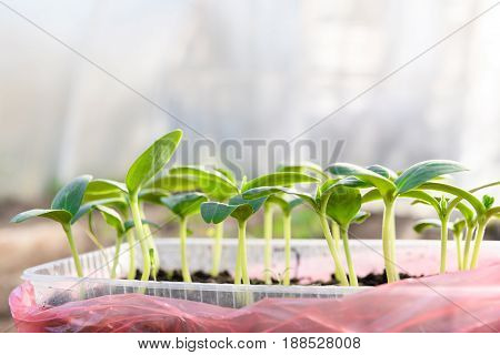 Young Seedlings Of Cucumbers In The Greenhouse Side View