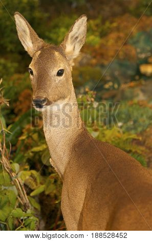 Roe Deer With Brown Fur In The Forest In Autumn