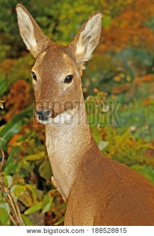 Young Roe Deer With Brown Fur In The Forest