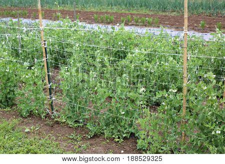 Organic Farming: Green Plant Of Peas In The Wide Vegetagle Garde
