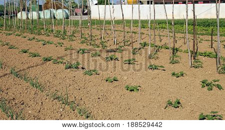 Wide Vegetable Garden With Tomatoes Plants