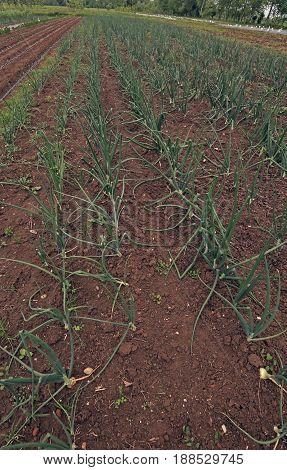 Wide Field Of Onions