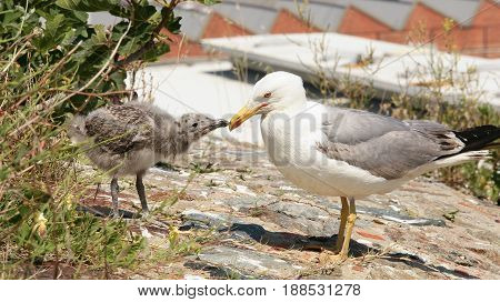 Seagull chick and seagull surprised in their nest