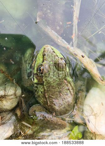 Bullfrog sitting in a swamp top view looking down.