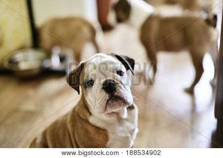 Sitting English bulldog puppy with shallow depth of field
