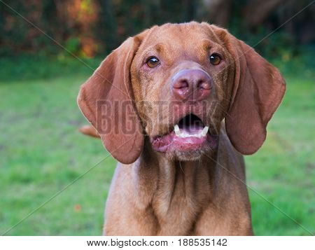 Front view of adult vizsla face in green field
