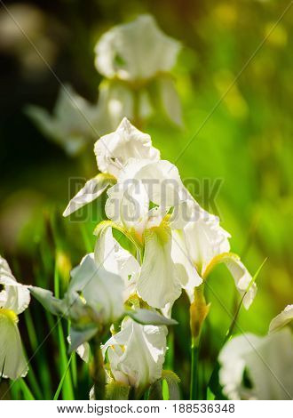 Beautiful flowers of white iris. Beautiful irises on green background. A white iris plant in garden bloom in spring.