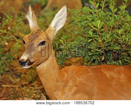 Young Roebuck With Brown Fur In Autumn