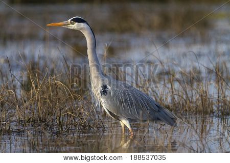 Grey heron, ardea cinerea, walking in a pond looking for food