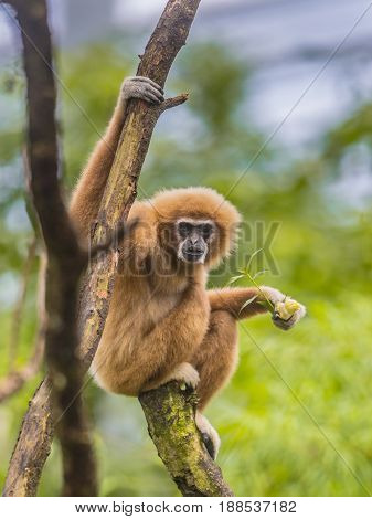 Lar Gibbon Perched On Branch In Rainforest Jungle