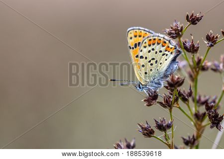 Sooty Copper Perched On Rush Flowers
