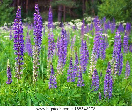 Willow-herb (Ivan-tea). Cyprus angustifolia or Ivan tea Koporye tea
