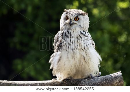 The Eurasian eagle-owl (Bubo bubo) sitting on the tree. Owl is also called European eagle-owl