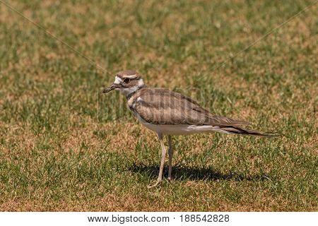 a cute killdeer in standing in green grass