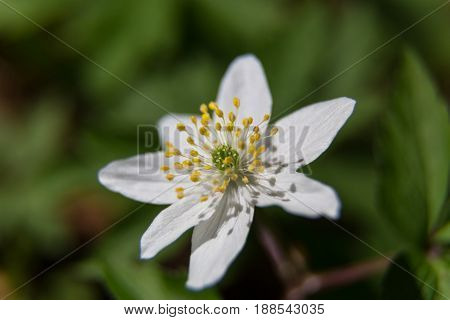 Spring field flower macro: white petals yellow stamens on a natural blurred background