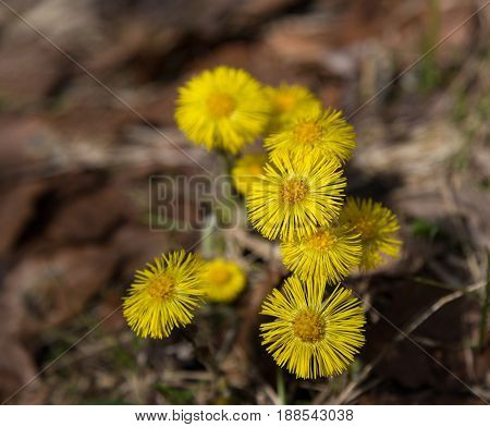 Yellow flowers on spring meadow . Horsefoot (Tussilago farfara) macro on blurred natural dark background
