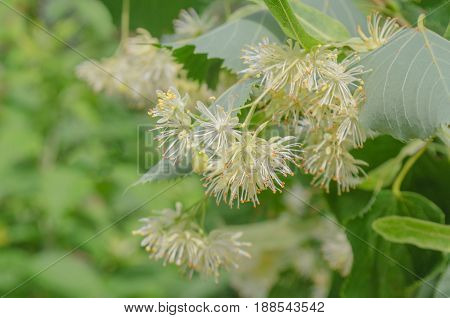 Blooming linden tree. Linden flowers background. Lime tree in bloom