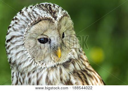 Portrait of the Ural owl (Strix uralensis)