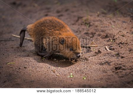 North American Beaver (Castor canadensis) Kit Runs Across Sand - captive animal