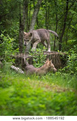 Grey Wolf (Canis lupus) Pup Walks Across Rock - captive animals