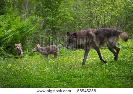 Black Phase Grey Wolf (Canis lupus) Runs With Pups - captive animal