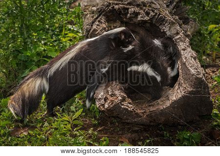 Striped Skunk Doe (Mephitis mephitis) Places Kit in Log - captive animals