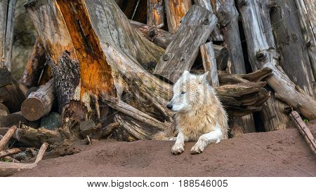 wet white wolf after a rain. Lying on the ground under the trees