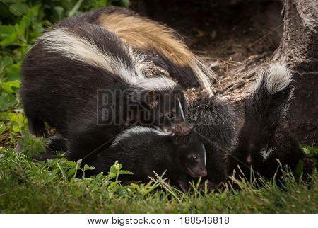 Striped Skunk Doe (Mephitis mephitis) Grabs Kit - captive animals
