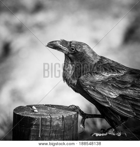 Common Raven Sitting On A Wooden Beam, Black And White Photo