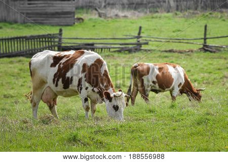Cows grazing on a green meadow at spring, rural wooden fence at background.