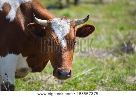 Closeup portrait of grazing brown and white cow.