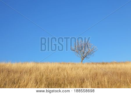 natural landscape with single tree in the wheat field