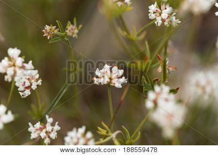 Flowers of prostrate Canary clover (Dorycnium pentaphyllum)