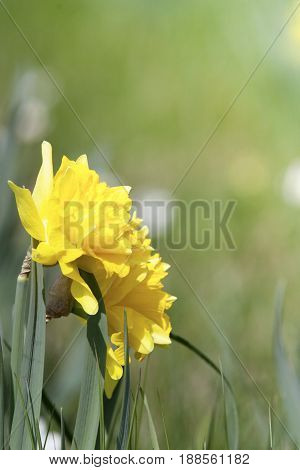 daffodil easter flowers in spring on meadow background