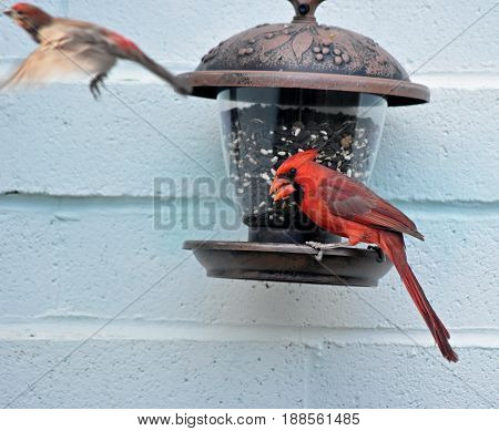 Male northern cardinal eating from a feeder hanging on the wall with a house finch leaving the feeder