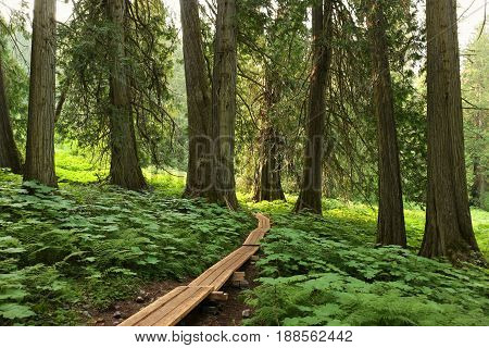Acient cedar forest, boardwalk, in north canada