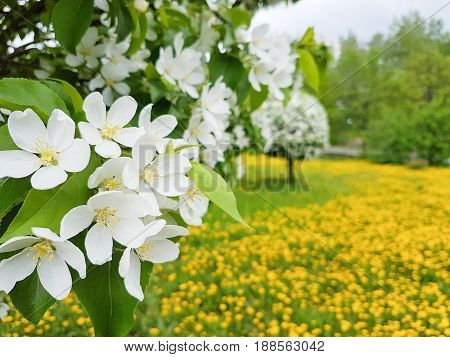 Apple tree white flower blooming yellow, meadow, field background