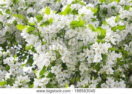 Apple tree white flower blooming natura background