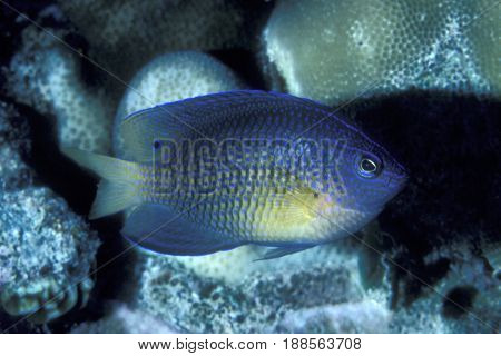 An Ocellate Damselfish , (Pomacentrus vaiuli) on a coral reef at the Kwajalein Atoll in the Pacific