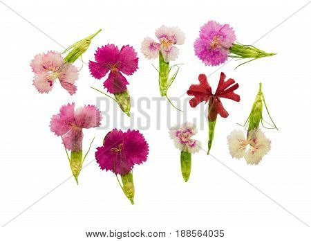 Pressed and dried set magenta flowers sweet-william (dianthus barbatus) isolated on a white background. For use in scrapbooking floristry (oshibana) or herbarium.