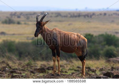 African kongoni on the hill. Kenya, Masai Mara