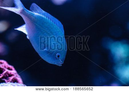 Bluegreen chomis fish Chromis viridis has a pale green color and is found on the reef