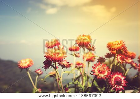 Beautiful Bouquet Of Colorful Dry Straw Flowers Or Everlasting With Blue Sky.