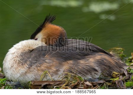 Great crested grebe (Podiceps cristatus) on nest. Elegant waterbird in the family Podicipedidae nesting on lake at Cardiff Bay Wales UK