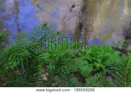 Green fir branch in Siberian taiga forest in summer. Blur background.
