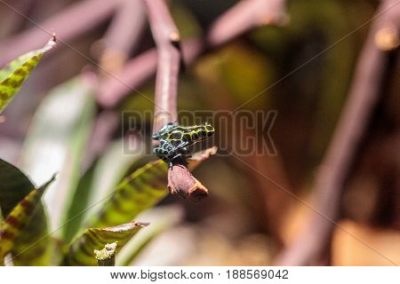 poster of Iridescent variable poison dart frog Ranitomeya variabilis is found in the tropical rain forest of Peru