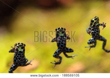 Iridescent Variable Poison Dart Frog Ranitomeya Variabilis