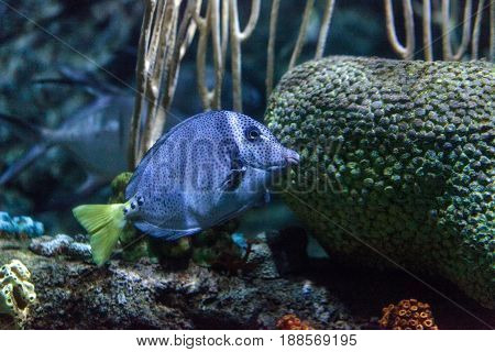 Yellowtail surgeonfish Prionurus punctatus is found in the coral reefs of the East Pacific.