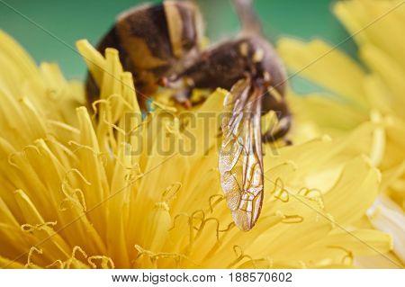 Wasp On Dandelion